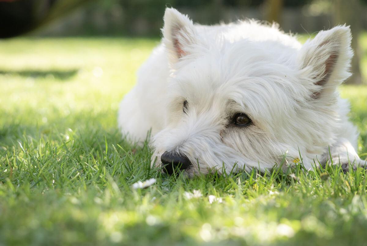 Petchef Allergias Westie Kutyusok Etetese