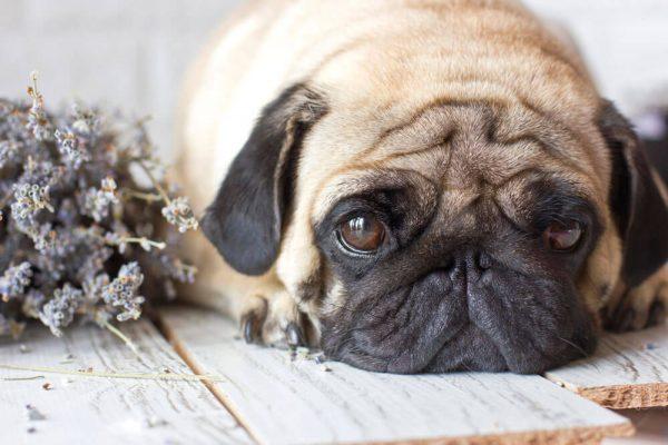 A kutya székrekedés paraffinolaj segítségével is kezelhető