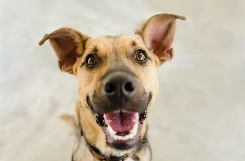 A kutya fülgyulladás vagy hallójárat gyulladás oka nem mindig egyértelmű.
