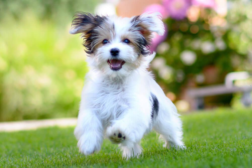 A kutya mancs gyulladás valójában a kutya talppárna gyulladást jelenti.