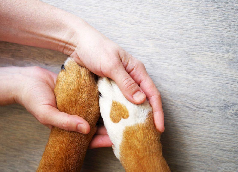 A kutya mancs gyulladás a kutya tappancsán lévő talppárnák gyulladása