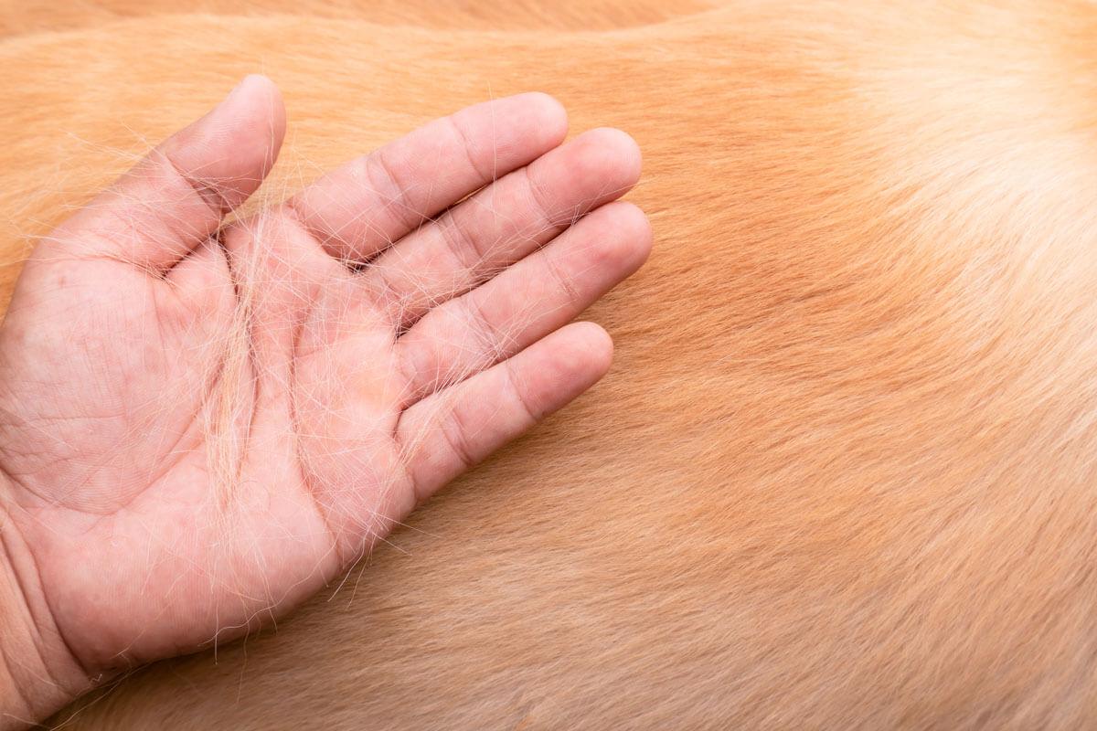A kutya szőrhullás foltokban ismert, jellegzetes tünet.