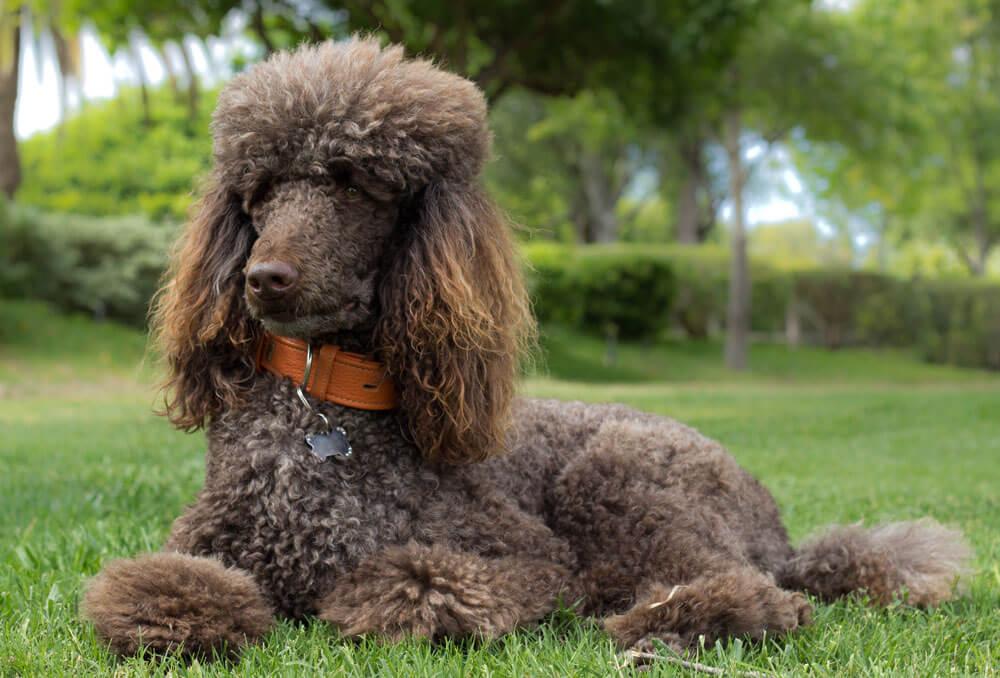A hipoallergén kutyák esetében a kutya szőrhullás nem jellemző