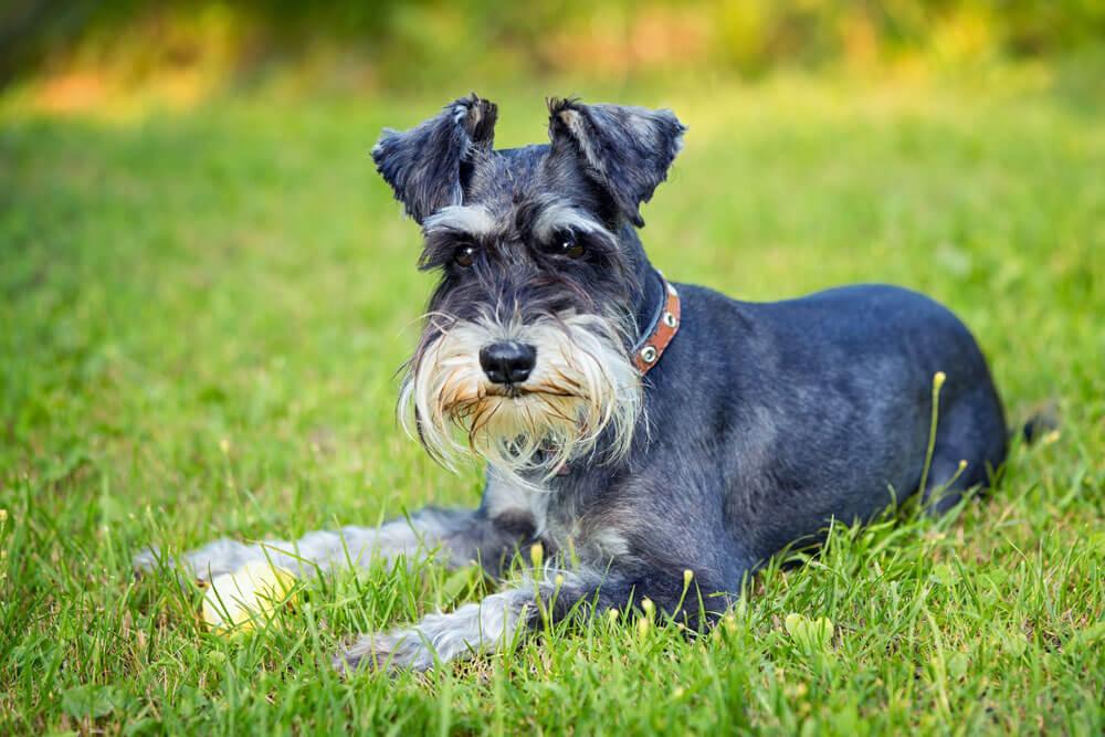 A kutya allergia nem jön elő hipoallergén kutya mellett.