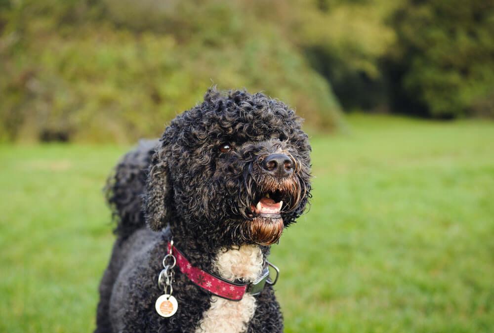 Ha a kutya szőre hullik intenzíven, akkor aligha lehet hipoallergén kutya.
