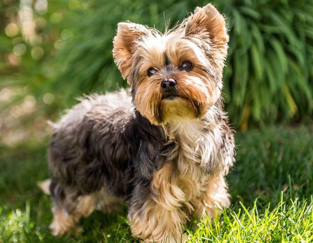 A kutyaszőr allergia a hipoallergén kutya mellett nem jelentkezik.