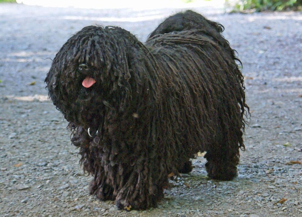 Hipoallergén kutya lehet kistestű kutya is