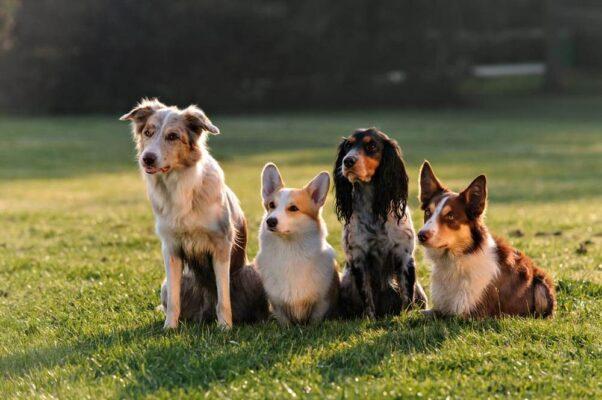 A szívférgesség tünetei kutyáknál